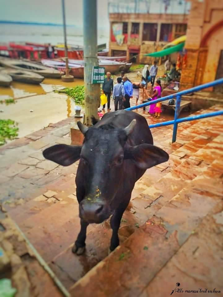 holy-cow-varanasi-the sacred city